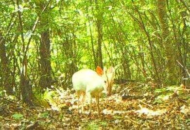 罕见野生动物现身神农架国家公园,确认为罕见的白化小麂