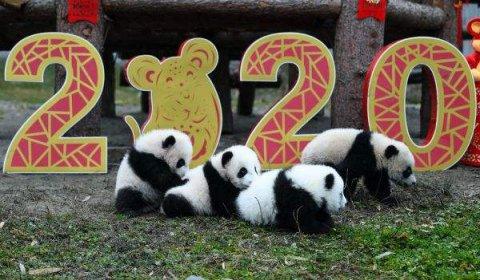 """""""熊孩子""""来拜年了!2019级新生熊猫宝宝向全国人民恭贺新春"""